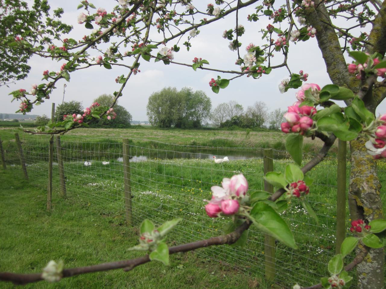 2014-05-01 exteriieur ferme pommier et canards